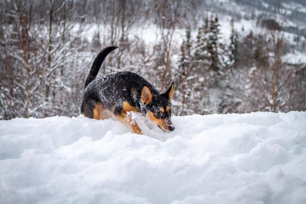 Hunde fotografering - SCPhoto