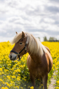 Hest i raps