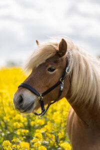 Heste fotograf